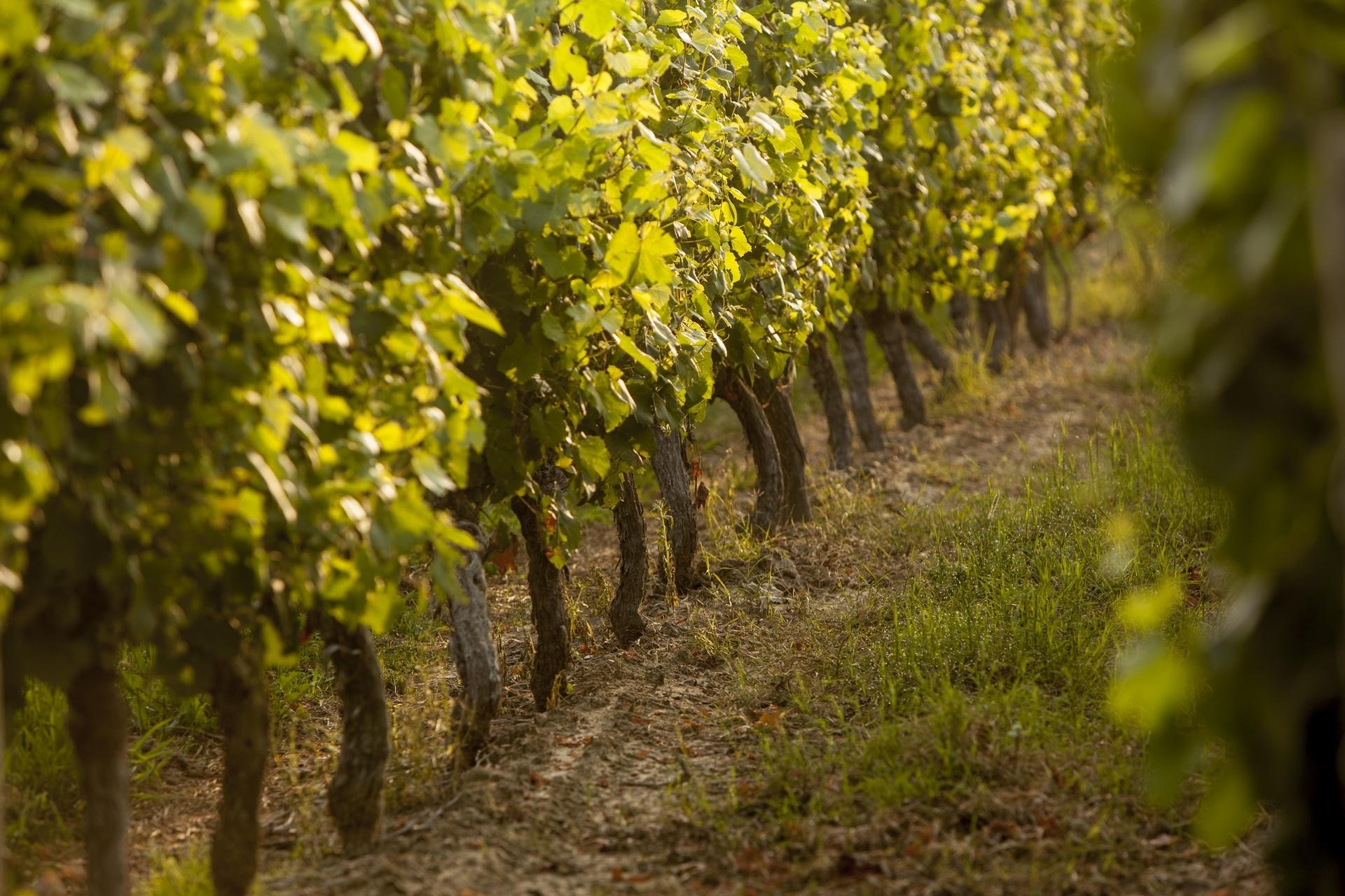 La vigne de l'AOP Fronton©Pierre Soissons